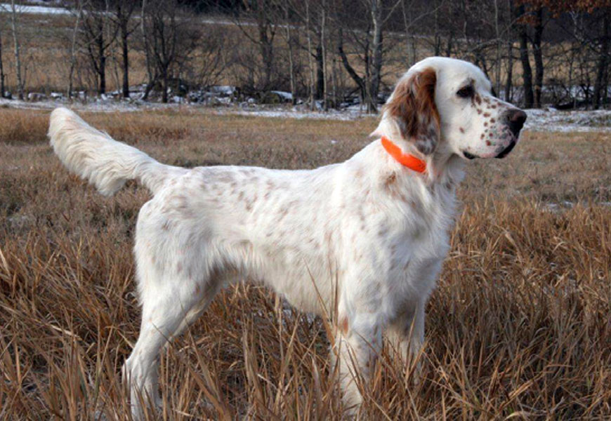 Good Go Ing English Setters Classic Dog Line